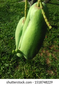 Two Oddly-Shaped Mangoes Hanging On The Tree - Unripe - Tropical Fruit