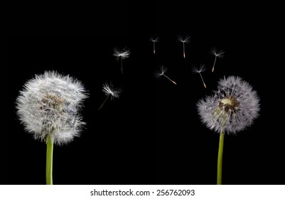 two old dandelions and flying seeds isolated on black background