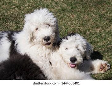 Old English Sheep Dog Images, Stock Photos & Vectors