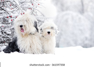 two old english sheepdogs sitting in winter meadow