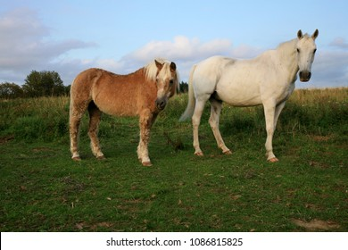 Two, old, retired horse haflinger on meadow in Polish farm. Horse friends.