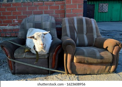 Two old shabby ugly armchairs with laying white hornless goat in the centre of city Vladivostok, Russia