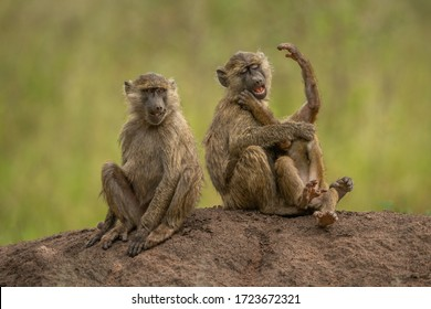 Two olive baboons sit playing beside another