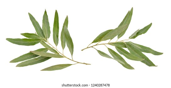 Two olive branches without fruit isolated on white background.