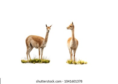 two vicuñas on white background, one looks at camera, the other looks at the first