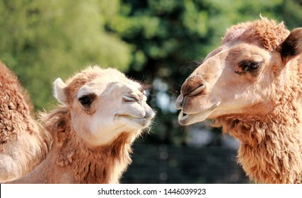 two one humped camels seeming to have a chat