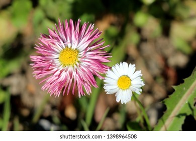 Two open blooming Common daisy or Bellis perennis or English daisy or Meadow daisy or Lawn daisy herbaceous perennial plants with white and pink flower with yellow center planted in local garden
