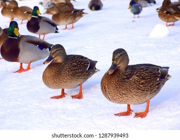 Two orange, brown, black, and blue ducks or drakes standing next to a frozen lake covered with ice and snow after a heavy rainfall with some other birds behind them, like ducks, pigeons, and crows