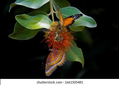Two orange butterflies on a tropic flower