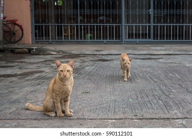 Two Orange cat on the street