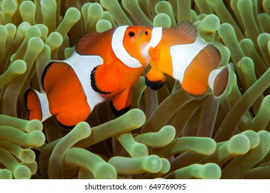 Two orange clown fish (Amphiprion percula) in their anemone.
