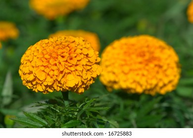 Two orange flowers African Marigold (Tagetes erecta)