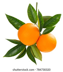 Two orange fruits hanging on a branch of orange tree with green leaves, isolated on white background.