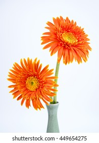 Two orange Gerbera flower in a vase on isolated / white background