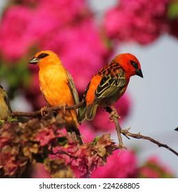 Two orange Kardinals on a bougainvillea branch