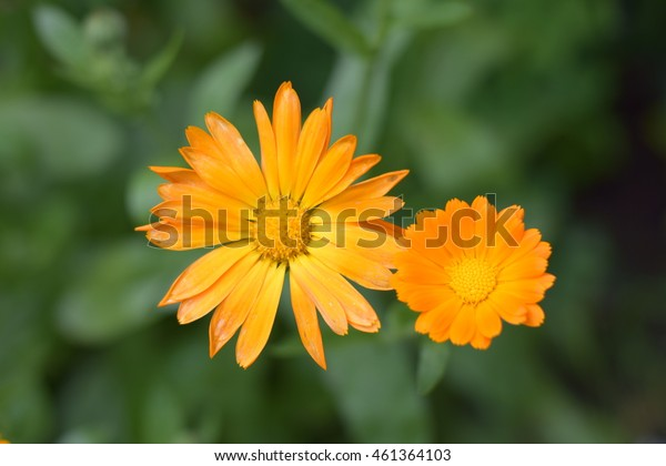 Two orange marygold flowers on the green background in summer season home flower garden