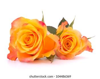 Two orange roses  isolated on white background cutout