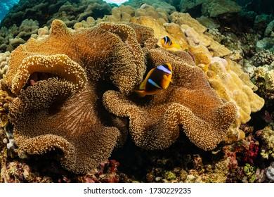 two orangefin anemonefish fish in anemone