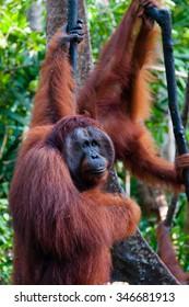 two Orangutan hanging on a tree in the jungle, Kalimantan, Borneo, Tanjung Puting, Indonesia