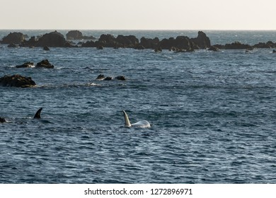 Two Orca Whales swimming at Moa Point, Wellington New Zealand