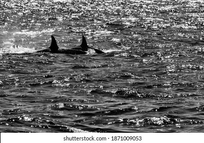 """Two Orcas (Orcinus orca) or """"Killer Whales"""" showing their dorsal fins on a Whale Watching excursion from Olafsvik Harbour on western Snæfellsnes Peninsula Iceland, back lit black and white"""