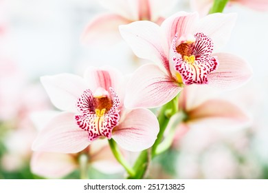 Two orchid flowers close up