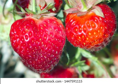 two organic strawberries field natural fruits berries close-up