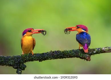 Two oriental dwarf kingfishers with spider catch