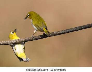 Two oriental white eye birds have an arguement over who gets to sit on their favorite perch . Shot in bangalore ( outskirts, toorahalli forest range )