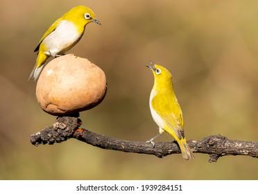 Dos ojos blancos orientales peleando por una mejor posición para comer frutas en las selvas boscosas de las afueras de Bangalore