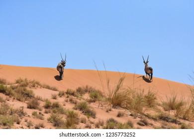 Two Oryx (Gemsbok)(Oryx gazella) cross the top of a sand dune in the Namib desert, Namibia.