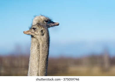 Two ostrich on the farm. The photo shows the head and neck ostriches.