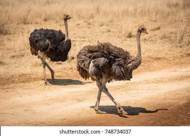 Two Ostriches walking across a track in The Kruger National Park South Africa