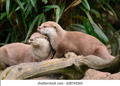 two otters cuddling