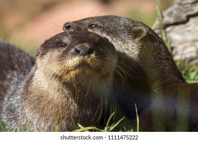 Two otters lying together