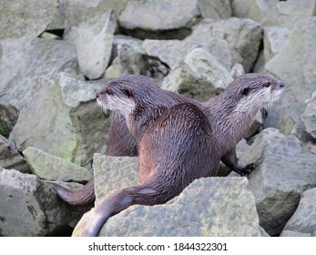 two otters on rocks by the water, aquatic animals, river animals, inhabitants of the stream and mountain streams, wet shiny fur, animals in the zoo,