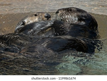Two otters in shallow water facing each other and very close face to face with their paws linked together as if holding hands affectionately