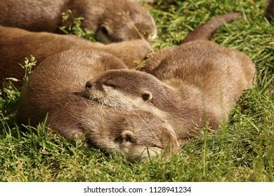 Two Otters sleeping