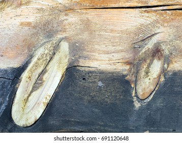 Two oval knots, formed from the overgrowth of a dead limb, in a sawed board from a conifer tree at Bryce Canyon in Utah