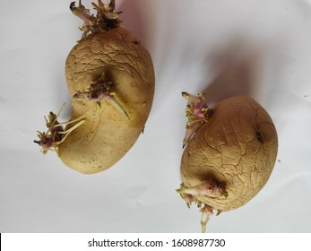 Two Overripe Potatoes with Tuber Growth isolated on  a white paper background