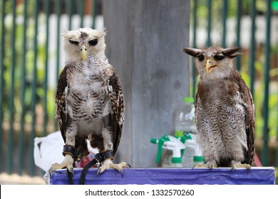 Two Owls sitting