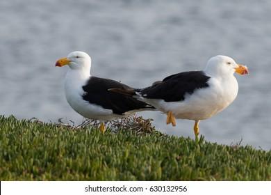 Two pacific gulls (Larus pacificus). Maria Island, Tasmania, Australia.