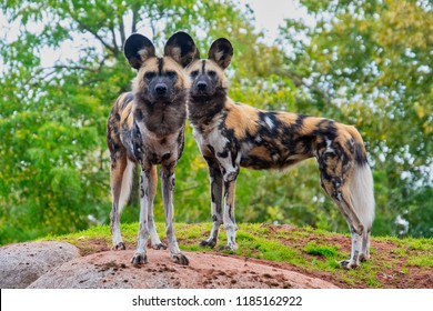 Two painted dogs standong on a mound of ground