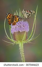 Two painted lady butterflies are sitting on teasel.  One is seen from the side with closed wings and one from the back with open wings.