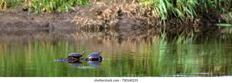 Two Painted Turtles bask on a sunken log in the Mississippi River near the Wisconsin shore, with reflections