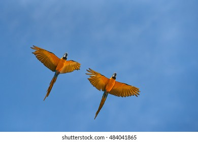 Two, pair of colorful parrots, Blue-and-yellow macaw, Ara ararauna, flying against clear blue sky. Trinidad island, Trinidad and Tobago, South America.
