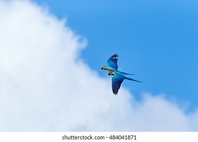 Two, pair of colorful parrots, Blue-and-yellow macaw, Ara ararauna, flying against cloudy  blue sky.  Trinidad island, Trinidad and Tobago, South America.