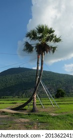 Two palm trees in green grass field with mountain background