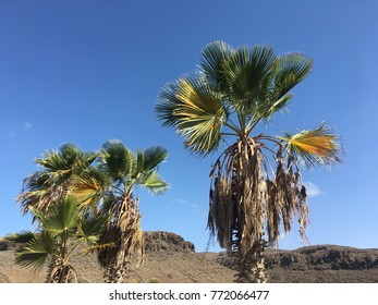 Two palm trees on Gran Canaria in Spain
