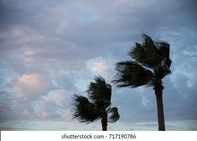 Two palm trees in the wind